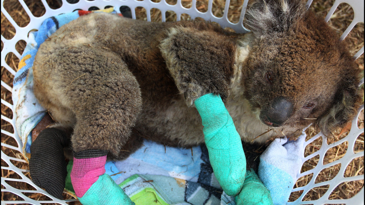 Koalas' Sanctuary Island Is Under Threat From Wildfires